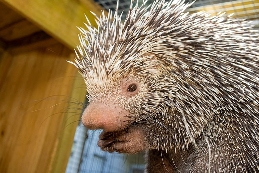 Shelley the Porcupine